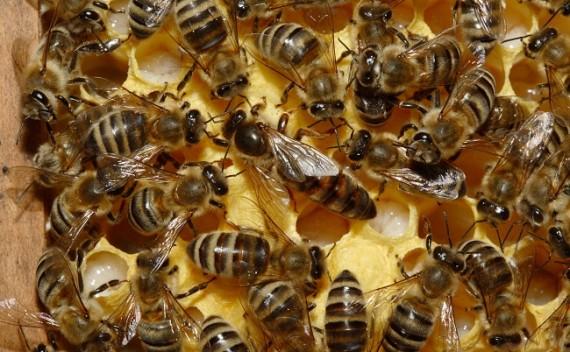 que significa soñar con abejas2