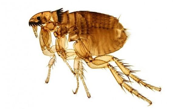 que significa soñar con pulgas