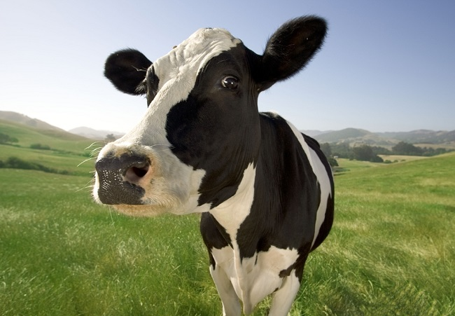 que significa soñar con vacas