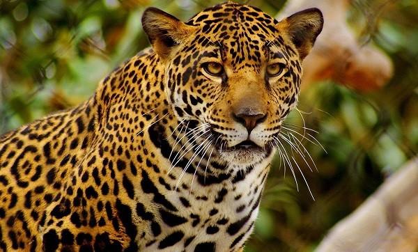 que significa soñar con jaguar