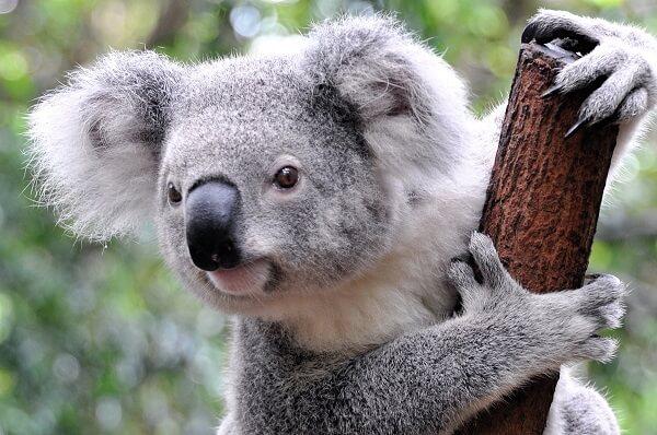 que significa soñar con koala